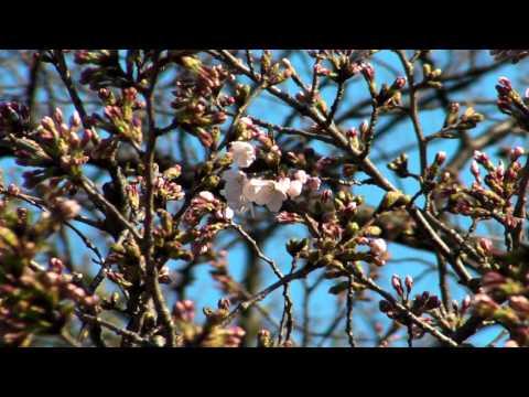 桜開花 東京 靖国神社 2011年3月28日 Japan Tokyo Yasukuni cherryblossom