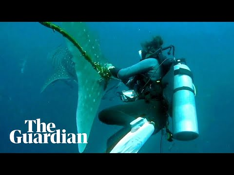 Divers in Thailand attempt to free whale shark entangled in rope