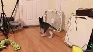 Freya The Siberian Husky Puppy - Attack Of The Fan!