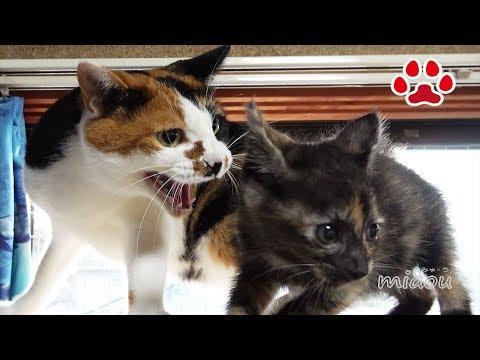 野良子猫が7匹の成猫が住む部屋に挨拶に行った【瀬戸のらな日記】New Kitten and Resident Cats Meet for the First Time