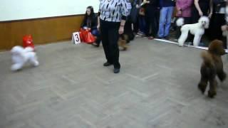 23-09-2012, моно пуделей Обнинск, щенячий бэст