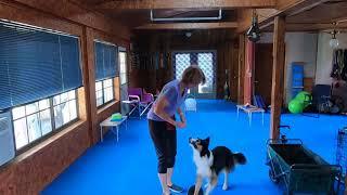 Player AKC Elite Performer Trick Dog