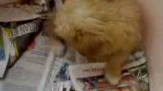 Norfolk Terrier Barking Puppy 2 Months Old