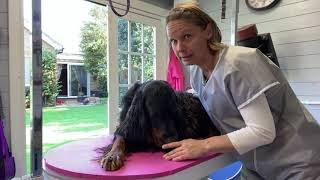 Gordon setter grooming  using a rubber band comb and teaching them to lay still for hand stripping