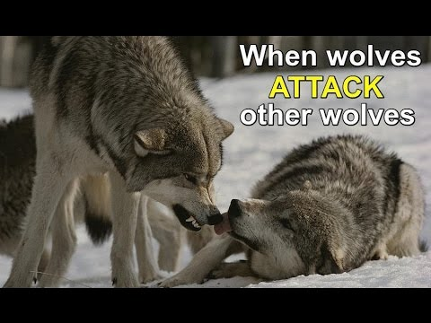 WOLVES ATTACKING OMEGA WOLF