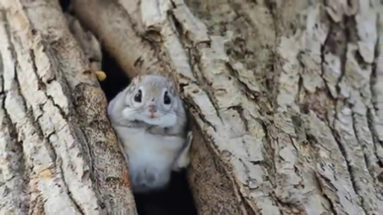Japanese And Siberian Flying Squirrels Are Probably The