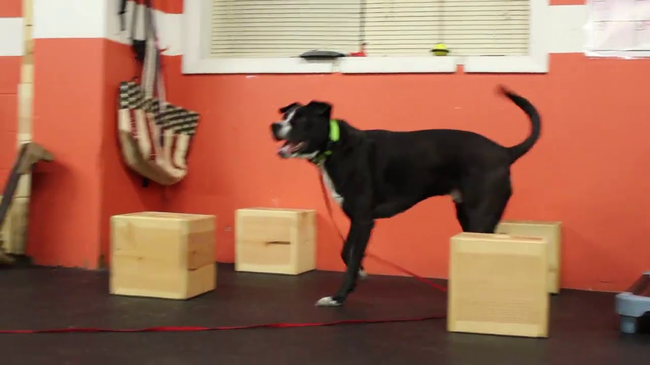 Dog Training | Amos training on scent box work | Solid K9 Training Dog Training : dog box training - Aboutintivar.Com