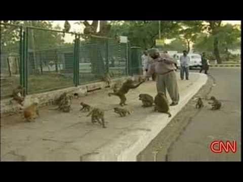 Legions of Monkeys in the City