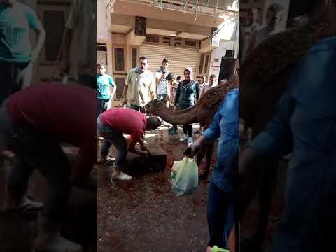 فتاه مصريه تذبح جمل بالاسكندريه (افلام قصيره)