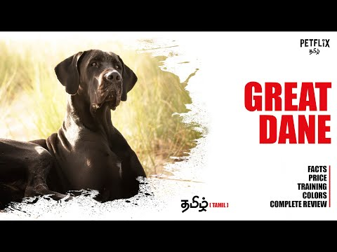 GREAT DANE  |  தமிழ்  |  Great Dane Review  |  PETFLIX Tamil  |   Gentle Giants  |  Colors  |  Price