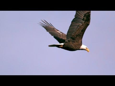 Episode 7: Bald Eagles  Epic Slow Mo