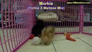 Morkie, Puppies, For, Sale, In, Mobile, County, Alabama, Al, Huntsville, Morgan, Calhoun, Etowah, Ho