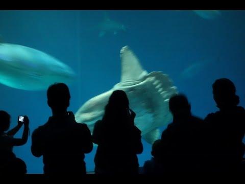 weißer hai aquarium