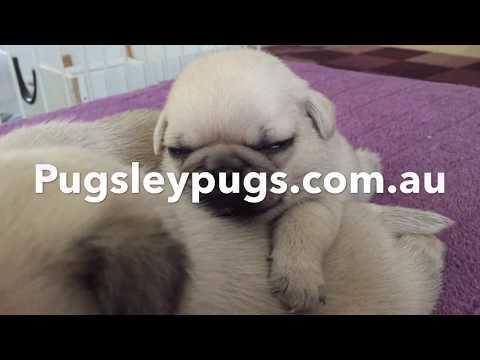 Pug cross Tibetan Spaniel Pups