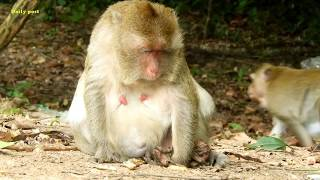 Poor Peggy Monkey Just Born Baby And Has Gone Away - Tearing Of Mom When See Baby,Daily Post