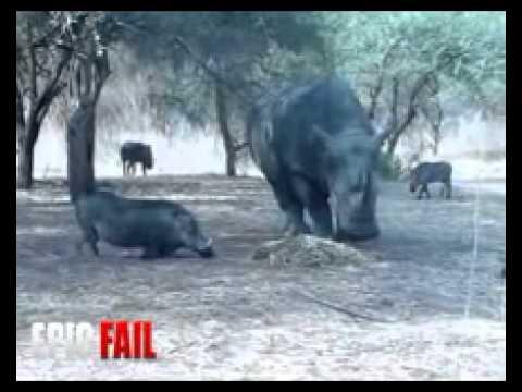 Rhinoceros Attacking Tour Bus