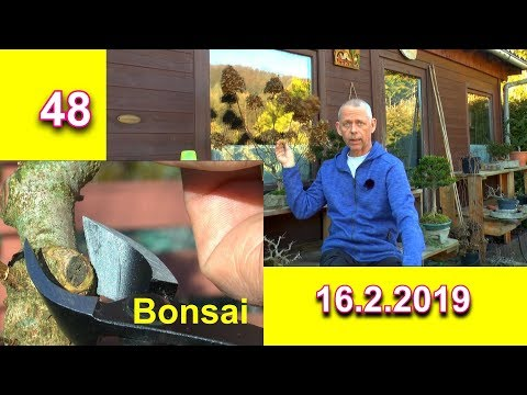 Bonsai Feldahorn Acer campestre weitere Vorbereitung Schnitt zum Bonsai