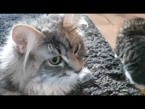 Maine Coon | Mother talking with her kittens