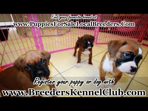 Boxer, Puppies For Sale, In Greenville, County, South Carolina, SC, 19Breeders, North Charleston