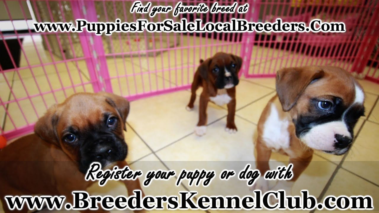 Boxer Puppies For Sale In Greenville County South Carolina Sc