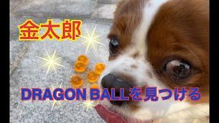 Kintaro found a dragon ball‼︎