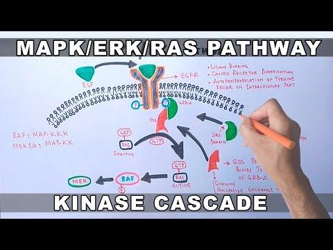 MAPK/ERK Signaling Pathway