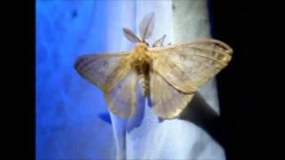 Jesensko noćno paunče – Autumn Emperor Moth Saturnia (Perisomena) caecigena (Kupido, 1825)