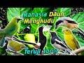 Ini  Manfaat Daun Mengkudu Untuk Lovebird Dan Semua Burung Kicau Harus Kamu Coba  Mp3 - Mp4 Download