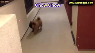 Chow Chow, Puppies For Sale, In, Bellevue, Washington, Wa, Yakima, Kitsap, Thurston, Clark, Spokane,