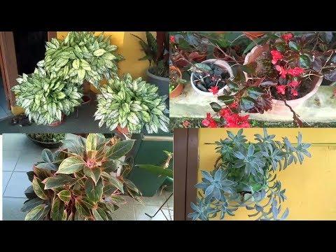 tanaman-hias-angglonema-lipstik-dan-lainnya,-elok-dipandang