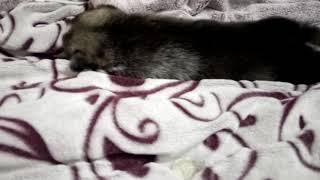 Это моя сибирская хаски щеночек спит