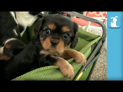 A Wagon Full of Cavalier Puppies - BEST DAY EVER!