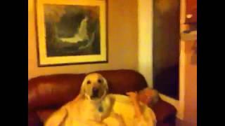 Golden Retriever Climbing On Me, Mj's Dog
