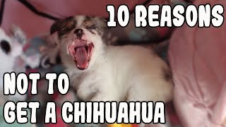 10 Reasons *NOT TO* Get a Chihuahua (NOT HATING....watch past 10 seconds) Reverse Psychology