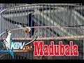SUARA BURUNG : Aksi Murai Batu Madu Bala Koleksi KDV Star BF Lampung, Runner Up Di Piala Ronggolawe