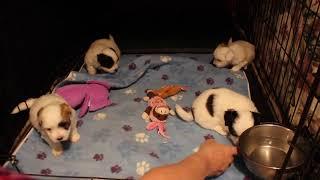 Coton Puppies For Sale - Kiwi 10/6/21