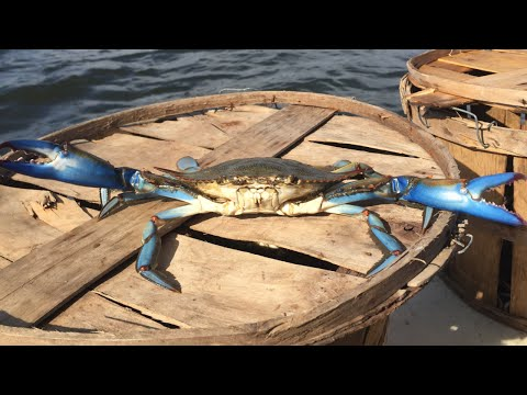 Maryland crabbing  , monsters on the trot line 2015