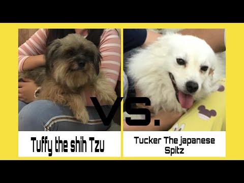 Shih Tzu Vs. Japanese Spitz