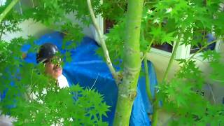 Japanese Maple Pruning Tips