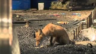 В Рыбинске рабочий приручил семью лис