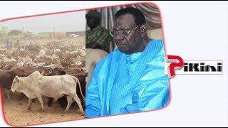 Magal 2018 : Cheikh Béthio achète ses bœufs au Mali