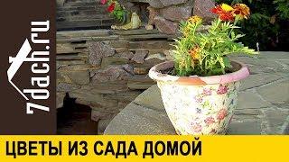 видео Однолетние цветы для дачи и сада