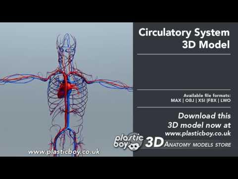 Human Circulatory System 3d Model Plasticboy Youtube