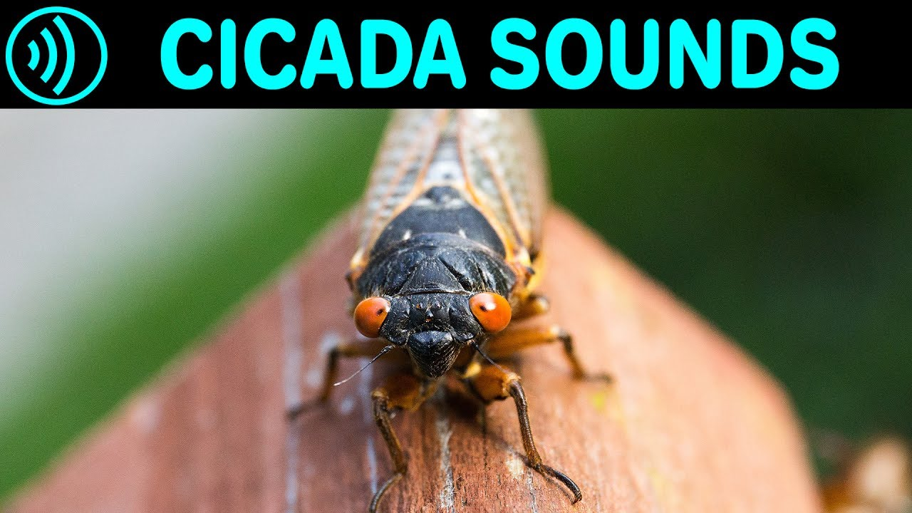 Cicada Sounds Sound Effect Of Cicadas In Summer At Night