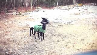 козы которые падают в обморок видео