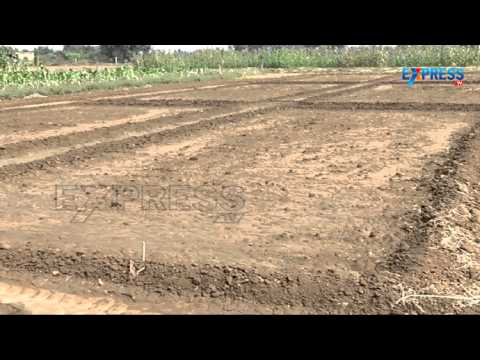 Techniques For Lucerne Gr And Alfalfa Cultivation