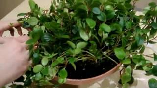 видео Гемантус уход в домашних условиях пересадка и размножение