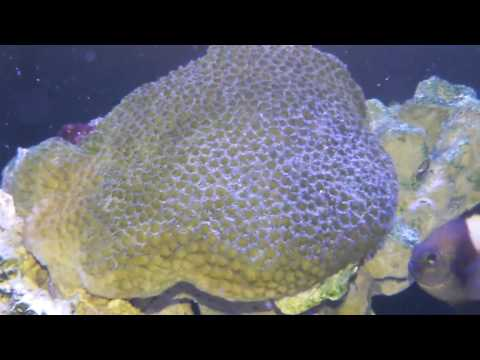 Cloudy Damsel Eggs Marine Fish Eggs Marine Fish