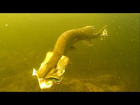 Angry Pike Attacks Fishing Lure 12 Times In Crystal Clear Water. Lucio Ataque. 鱼攻击