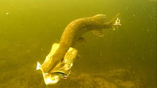 Insane pike attacks Salmonid Minnow fishing lure 12 times in a row in crystal clear water.